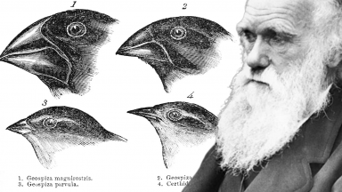 Darwin used taxidermy to preserve Galapagos goldfinches. The differences he observed between species played an important part in developing the theory of evolution.
